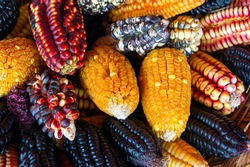 A colorful selection of Peruvian corn grown in the Sacred Valley.