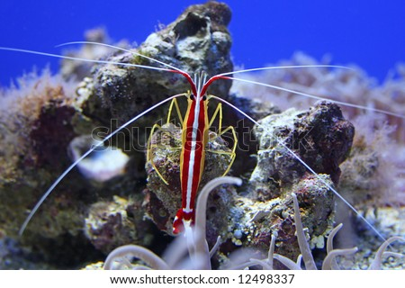 A colorful shrimp taken at the aquarium through glass.