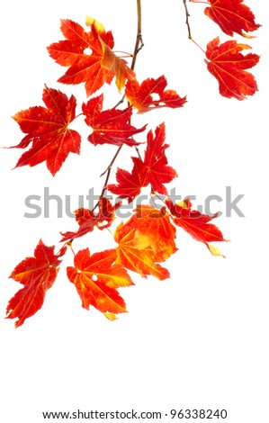 A colorful stem of bright red maple leaves isolated on white