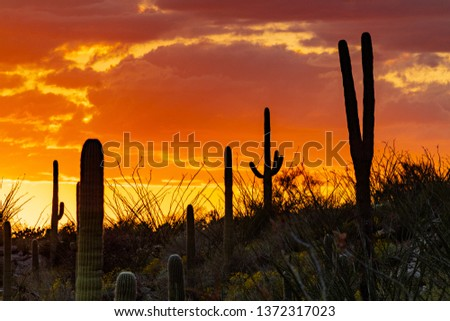 A colorful sunset along the Pima Canyon hiking trail, Sonoran Desert landscape in the Catalina Mountains. Orange, red, yellow and lavender colors in the sky. Saguaro cactus near Tucson, Arizona. 2019.