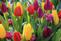 A colorful tulip bouquet in bright spring colors: yellow, red and purple