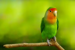 a colorfull little parrot with green background