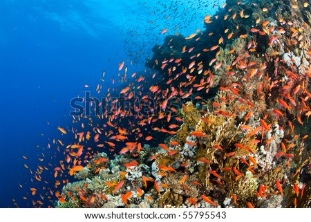 A colourful and busy reef, Indian Ocean, Egypt