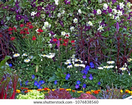 A colourful flower border with mixed planting  including geraniums, daisy and  clematis