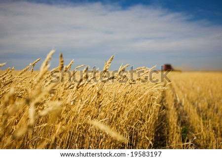 A combine harvester working in a wheat field,(focus on front row of wheat)