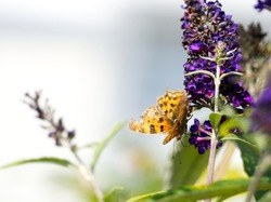 A Comma butterfly (Polygonia c-album) with faded, tattered wings, drinking nectar from buddleja flowers in late summer