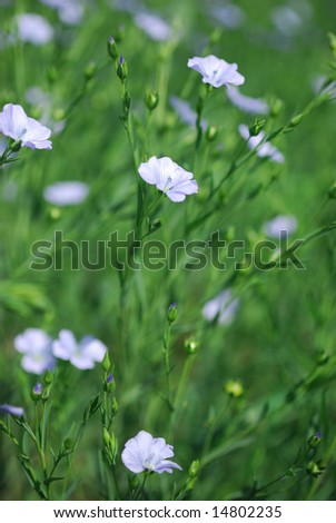 A commercial agricultural flax crop blooming in Saskatchewan.