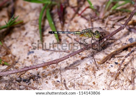 A common dragonfly rest in the small branch near the floor