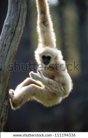 A common gibbon hanging on a tree