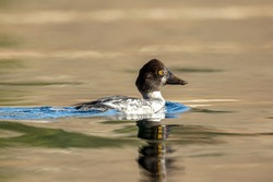 A common goldeneye swims in calm water in Coeur d'Alene, Idaho.