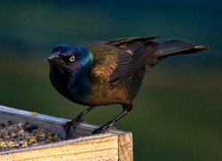 A Common Grackle at a Bird Feeder