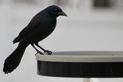 A common grackle perched on a heated bird bath filled with water.  The bird is looking dark and mysterious thanks to the blackened plumage, black feet and legs, and black beak on on a dreary day.