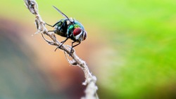 A common green bottle fly sitting on a stem. The common green bottle fly is a blowfly found in most areas of the world and is the most well-known of the numerous green bottle fly species