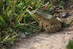 A Common Green frog poised to jump to escape danger in the to tall grass