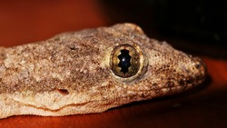 A Common House Gecko or Hemidactylus Frenatus, also known as Pacific House Gecko, Wall Gecko, or House Lizard. Most Gecko are hiding during the day and foraging for insects at night