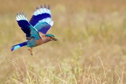 A Common Indian Roller in flight