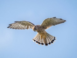 A common kestrel (Falco tinnunculus) hovering in flight in London, England.