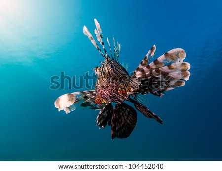 A common lionfish with the sun and blue water behind looks angrily at the camera in the Egyptian Red Sea resort of Nuweiba