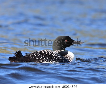 A Common Loon living on Horwood Lake in Northern Ontario Canada