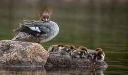 A common merganser with chicks