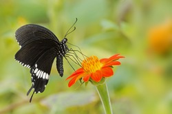 A Common Mormon butterfly (Papilio polytes) resting on a flower, a close up side view in a blurred green background, South-West Bengal, India