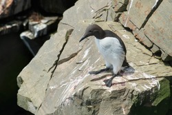 A Common Murre is standing on a rock ledge looking down. Also known as a Common Guillemot and Thin-billed Murre. Cape St. Mary's Ecological Reserve, Newfoundland and Labrador, Canada.