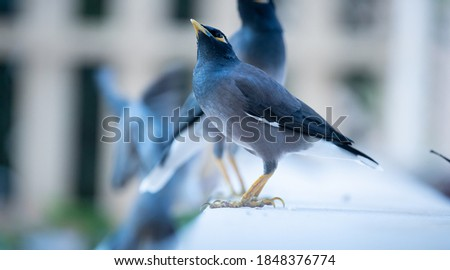 A common myna (mynah). In 2000 the IUCN Species Survival Commission declared it one of the world's most invasive species that pose a threat to biodiversity, agriculture and human interests.