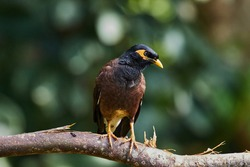 A common myna standing on a branch.