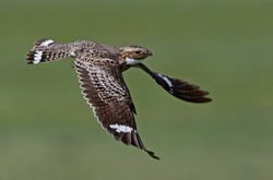 A common nighthawk taking flight