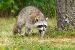 A Common Raccoon is walking in the short grass past a tree. High Park, Toronto, Ontario, Canada.
