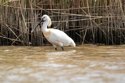 A common spoonbill found at the Biesbosch national park
