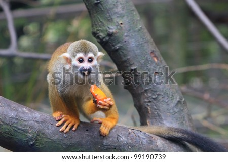 A common Squirrel Monkey on a tree limb enjoying a piece of fresh fruit.