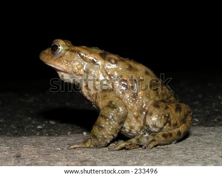 A common toad (Bufo bufo).