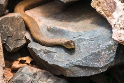 a Common Watersnake slithers out from underneath its cave in the rocks near a stream