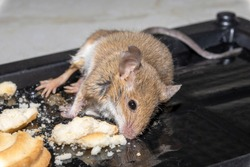 A common wild mouse found dead stuck to a rodent glue trap