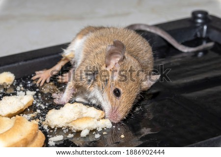 A common wild mouse found dead stuck to a rodent glue trap Foto stock ©