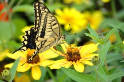 A common Yellow or Oldworld swallowtail butterfly. These are a very common type of butterfly you can find around Asia and Australia. This photo was taken in North Miyagi Japan during summer 2017.