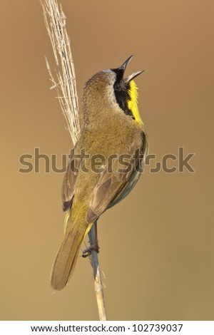 A Common Yellowthroat singing from a perch.