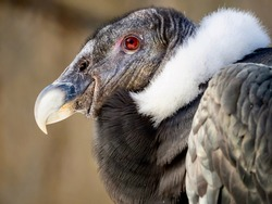 A condor bird wildlife animal up close in macro shot with its gray and white feathers and red eye looking off to the distance in nature.