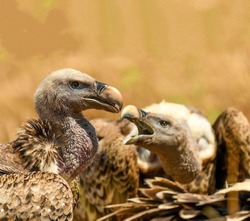 A Condor vulture in a nest with its baby bird which opened its mouth wide close up