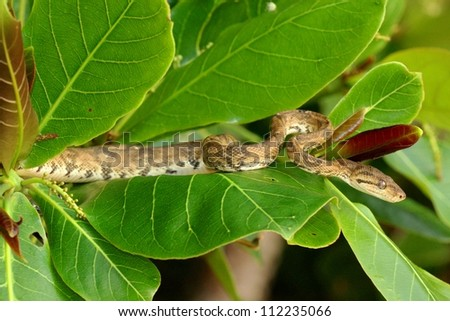 A constrictor, the arboreal Tree Boa snake, Corallus hortulanus, waits for prey