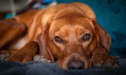 A content resting red coloured hound dog pet relaxing in the sun