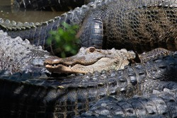 A contented american alligator rests smiling among gray, gnarly, sharp-skinned gators, in Florida, USA