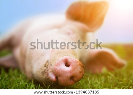 A contented pink pig smiles on the grass, snout and nose full frame