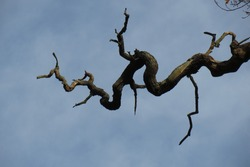 A Contorted and Twisted Branch that is Ready for Spring