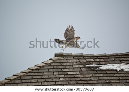 A Cooper's Hawk takes off from the top of a shingled roof in winter