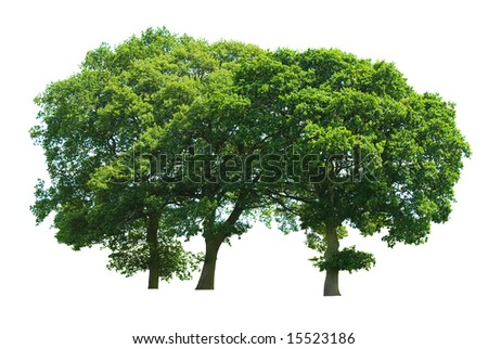 A copse of three oak trees isolated on a white background