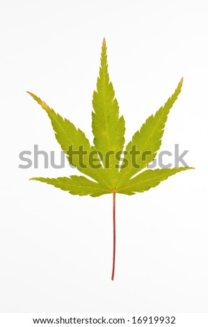 japanese maple tree meaning. wallpaper japanese maple tree cost. japanese maple tree meaning. japanese