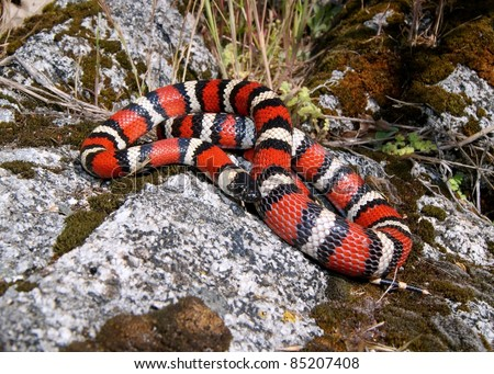 A Coral Snake mimic, the California Mountain Kingsnake (King Snake), Lampropeltis zonata multicincta, coiled on a rock in the mountains with a lizard in its belly