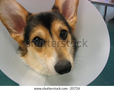 A corgi puppy wearing an elizabethan collar after a veterinary procedure.